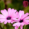 Lovely Pink Petals by Kimberly Gust