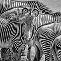 Lovely Stripes  7589bw by Karen Celella