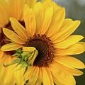 Lovely Sunflowers by Lynn Hopwood