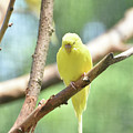 Lovely Yellow Budgie Parakeet In The Wild by DejaVu Designs