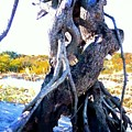 Lovers Entwined Beach Driftwood by Janine Riley