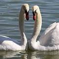 Loving Swans by Carol Groenen