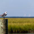 Low Country Seagull  by Donnie Whitaker