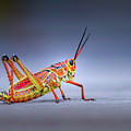 Lubber Grasshopper by Mark Andrew Thomas