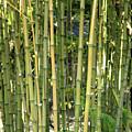 Lucky Bamboo by Carol Groenen