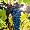 Luminous Grapes by Jim DeLillo