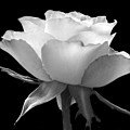 Luminous Rose by Terence Davis