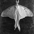 Luna Moth  by Edward Fielding