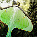 Luna Moth No. 3 by Todd Blanchard