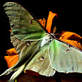 Luna Moth by Karen Scovill