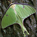 Luna Moth by Marie Hicks