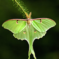 Luna Moth Spreading Its Wings. by Daniel Cadieux