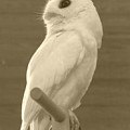 Luna The Rescued White Leucistic Eastern Screech Owl In Sepia by Barbie Corbett-Newmin