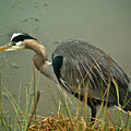 Lunch Time For The Heron by Dale Stillman