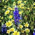 Lupine Amidst Tidy Tips by Lynn Bauer