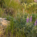 Lupine Among The Weeds  by Minnetta Heidbrink