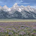 Lupine And Grand Tetons by Sandra Bronstein