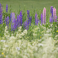Lupine Bright by Diane Moore