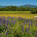 Lupine Festival by Brenda Jacobs