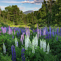 Lupine In The Valley by Bill Wakeley