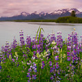 Lupine Of The Copper River Delta by Scott Slone