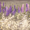 Lupine Remembered by Diane Moore