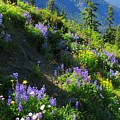 Lupine Slopes by Frank Townsley