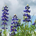 Lupines Against The Sky by Jim And Emily Bush