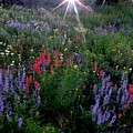 Lupines And Sun by George Tuffy