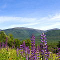 Lupines And The Presidentials by Lloyd Alexander