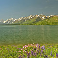 Lupines In The Tetons by Don Mercer