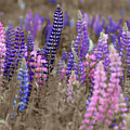 Lupins 2016 28a by Rodger Wilkie