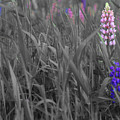 Lupins 30 by Rodger Wilkie