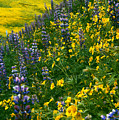Lupins And Daisys by Gary Brandes