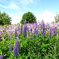 Lupins And Flocks by Melissa Parks