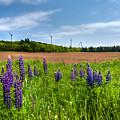 Lupins In A Field by Matt Dobson