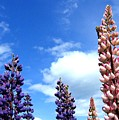 Lupins by Will Borden