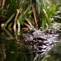 Lurking Crocodile by Anders Larsen