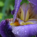 Luscious Blooming Iris by Mary Gaines