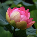 Luscious Lotus With Raindrops by Byron Varvarigos