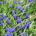 Lush Grape Hyacinth by Marilyn Hunt