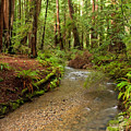 Lush Redwood Forest by Matt Tilghman