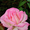 Lustrous Pink Rose by Tikvah's Hope