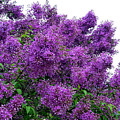 Luxurious Lilacs by Will Borden
