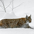Lynx Hunting In The Snow by Arterra Picture Library