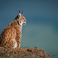 Lynx In Profile On Rock Looking Up by Ndp