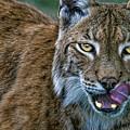 Lynx Licks Lips by Chris Lord