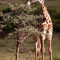 Maasai Giraffe - Giraffe Maasai by Michel Legare