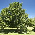 Macadamia Nut Tree by Kicka Witte - Printscapes