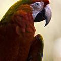 Macaw by Angel Ciesniarska